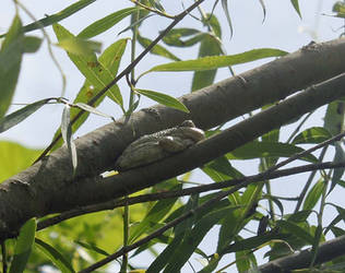 Tree frog in willow by gmdwilcox