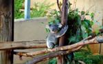 eucalyptus baby