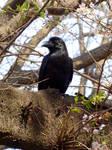 Corbeau Japonais dans un cerisier