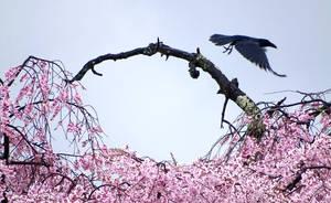 Un corbeau quittant son cerisier