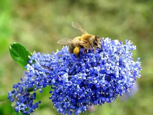 Abeille sur les fleurs d'un ceanothe