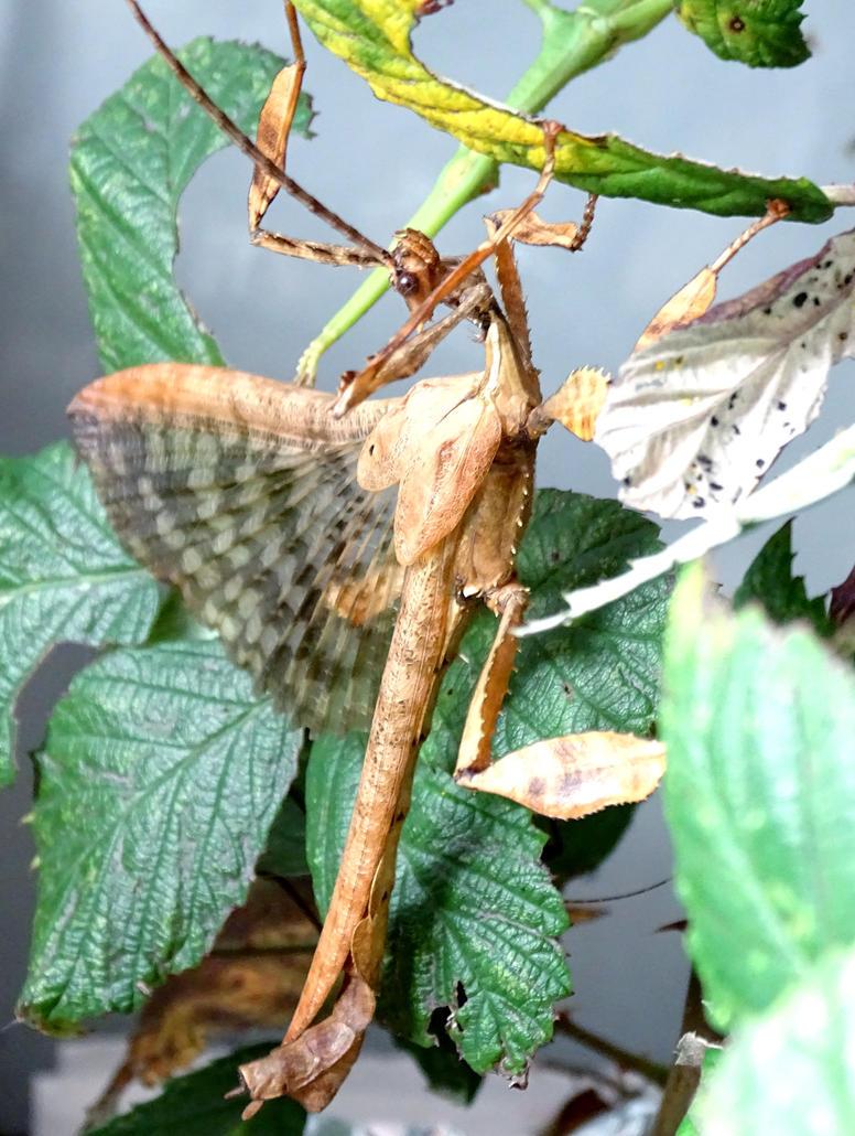 Extatosoma tiaratum sanctus dominum by ktulukru