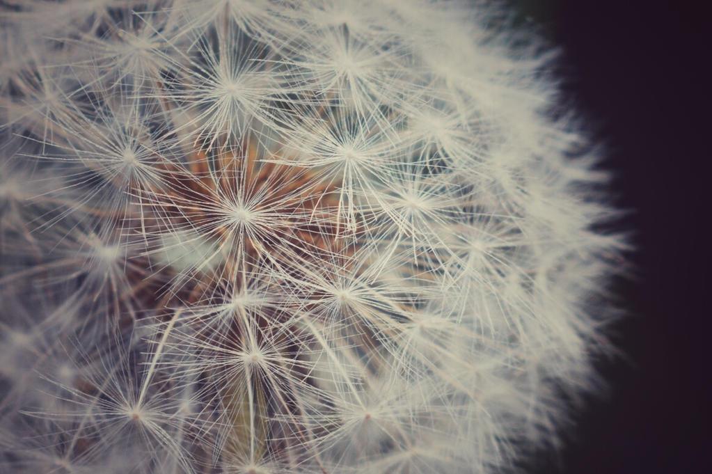 [20] Dandelion by Woziu542