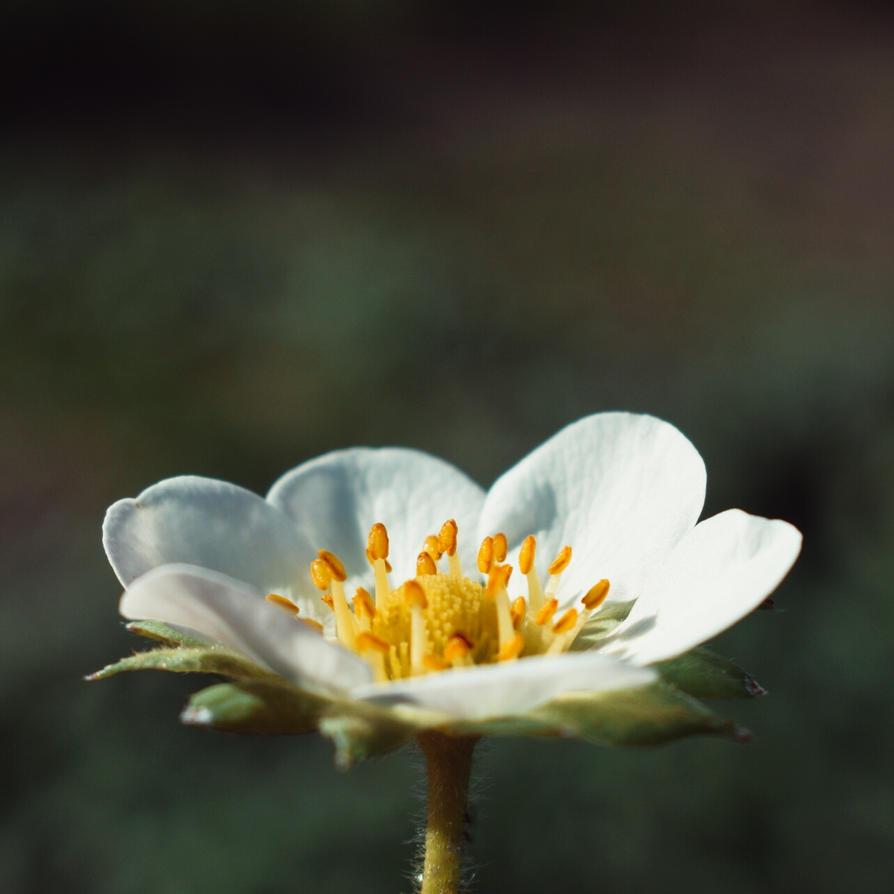 [23] Spring Flower II by Woziu542