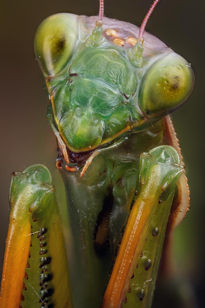 Mantis religiosa Portrait by lord-creeper