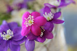 Cerise anemone
