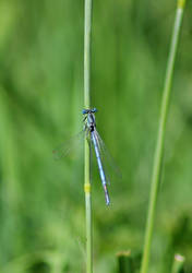 Blue dragonfly by reaktionista