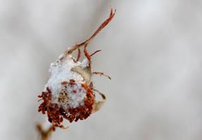 Frozen rose hip by reaktionista