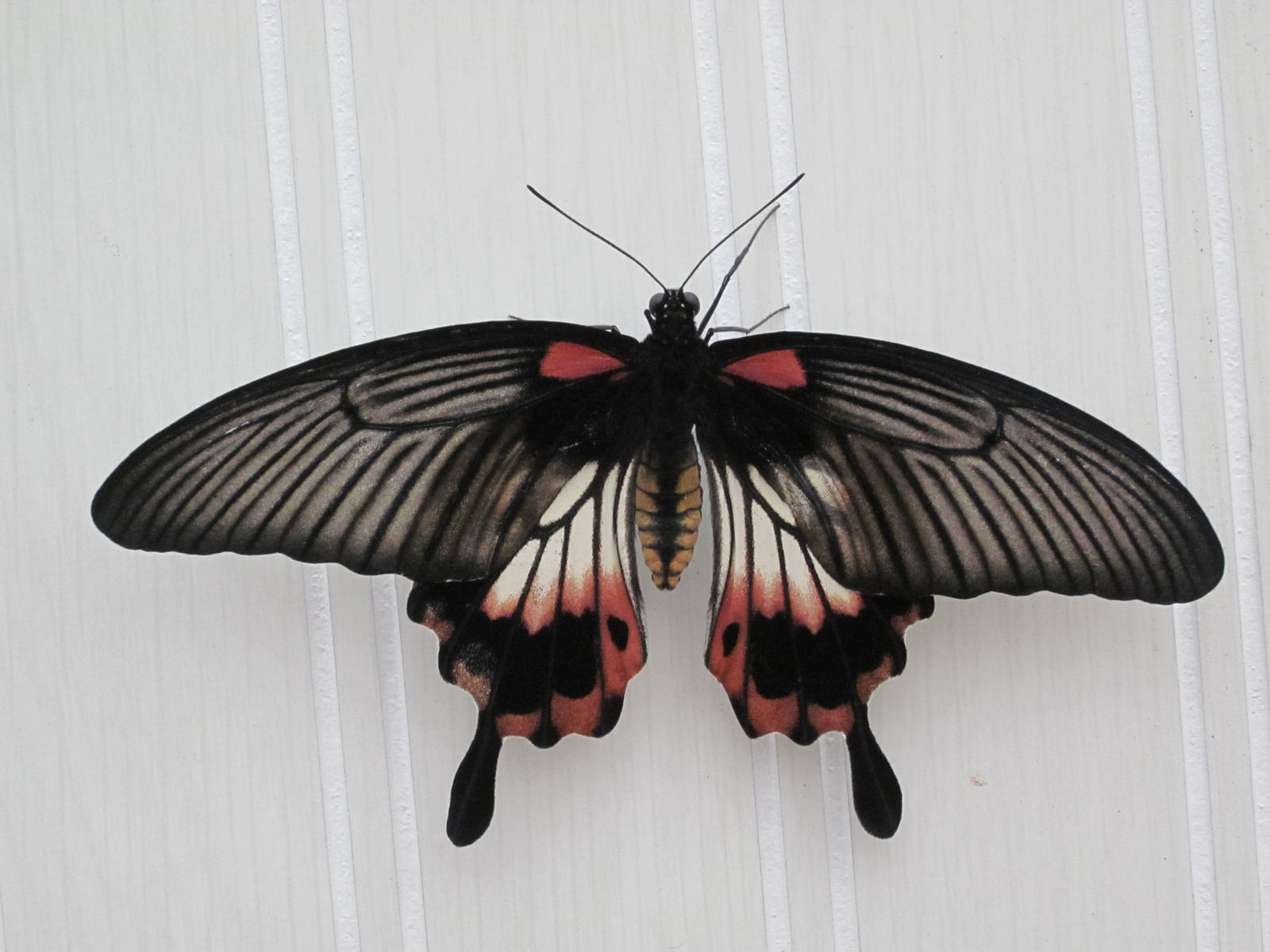 Great Yellow Mormon Dorsal View by death-pengwin