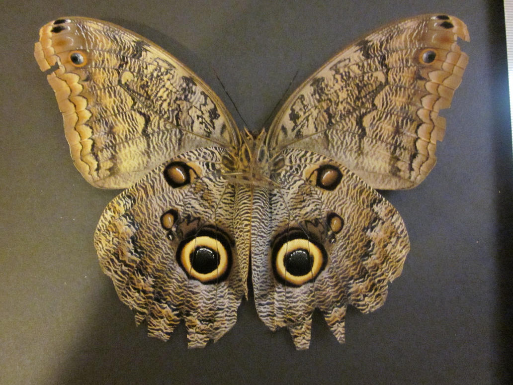Owl butterfly - photo#2