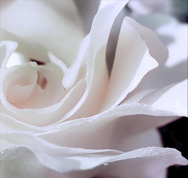 Владыка Более — первый луч Божественной Воли Liquid_Petals_R_by_Callu