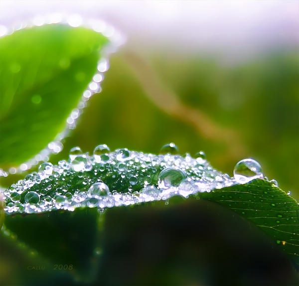 Kapljice vode - Page 2 Dew_by_Callu