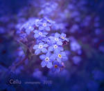 Forget Me Not R
