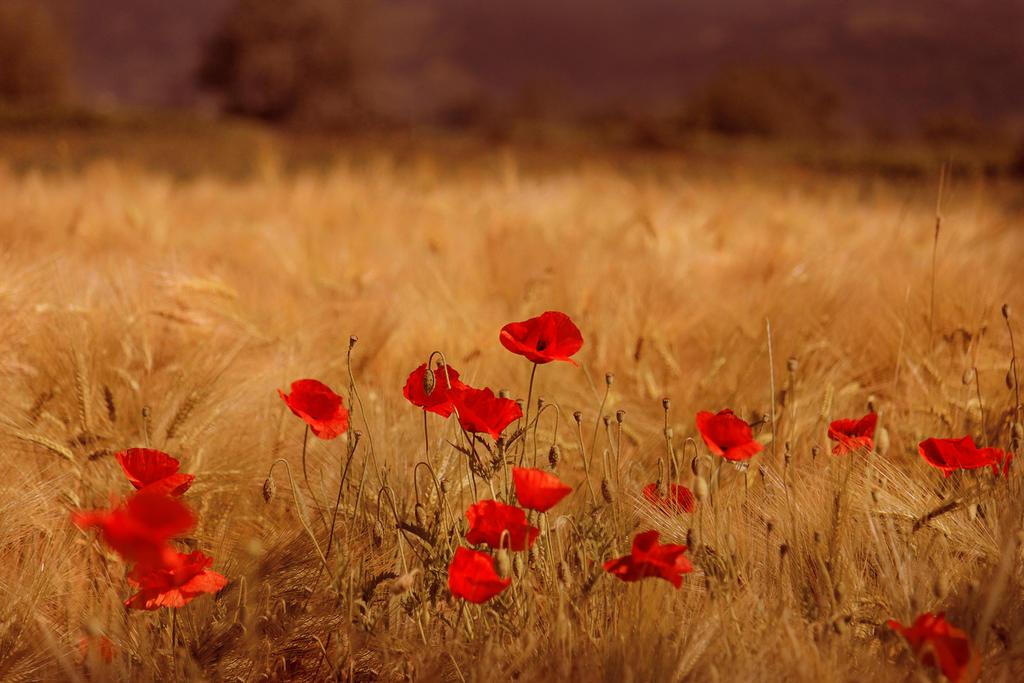 Poppies Field by Callu