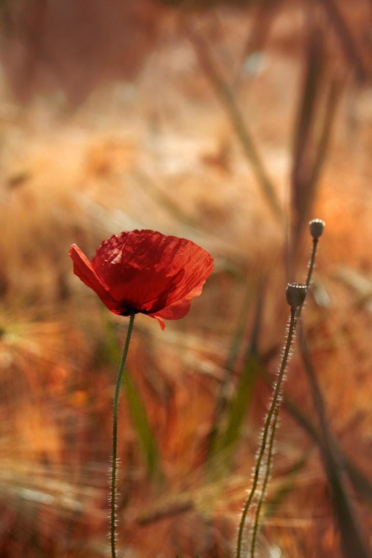 Poppy II by Callu