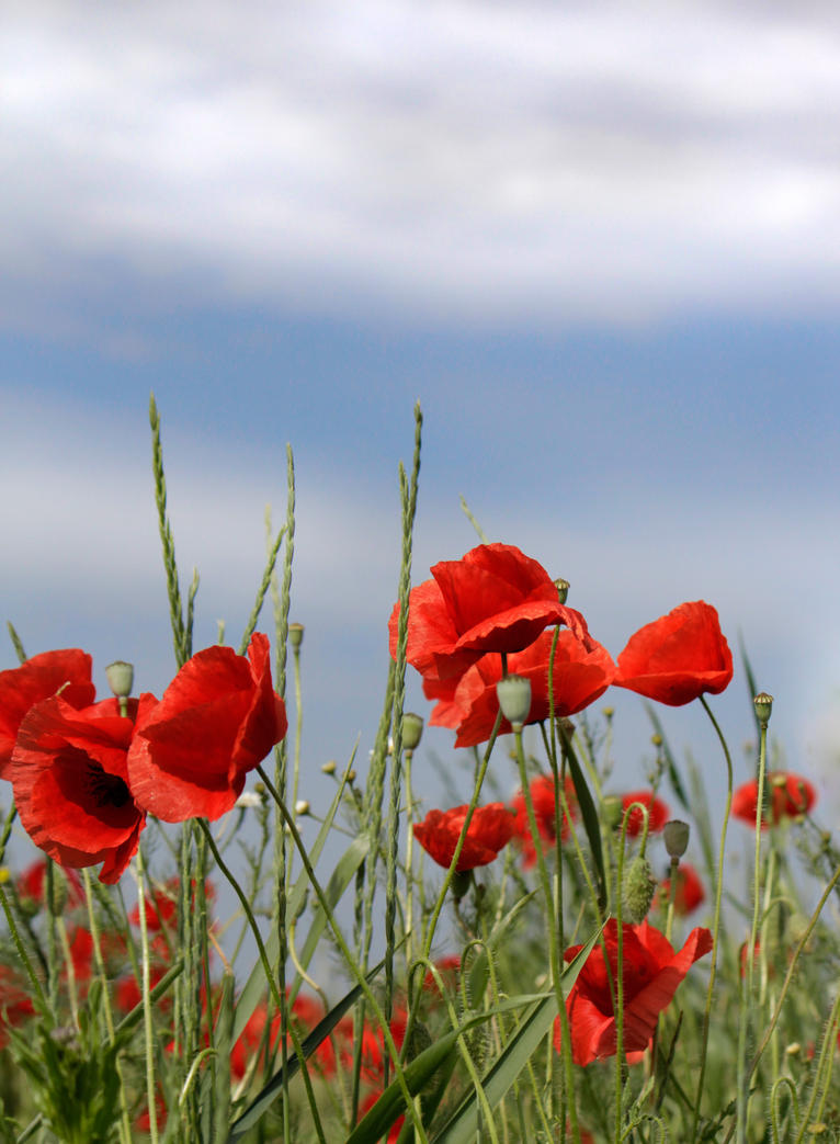 Poppies Due by Callu