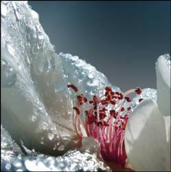 Merry Rose by Callu