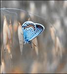 Blue Jewel Butterfly