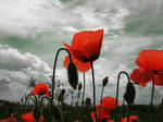 Poppies Up
