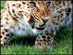 Amur Leopard snarl