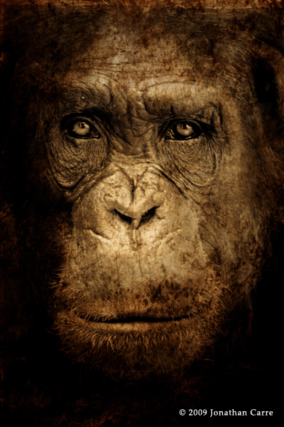 Darwin's Chimp by InsaneGelfling