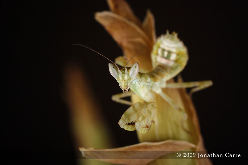 Flower mantis camo 2 by InsaneGelfling