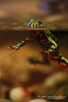 260210 Fire Belly Toad 2