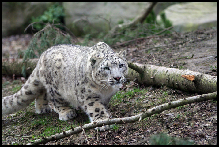 Stalking Snow Leopard no.1 by InsaneGelfling
