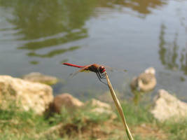 Dragonfly by eugeal
