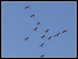 Phoenicopterus by eugeal