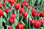 Red Tulips by DavidGrieninger