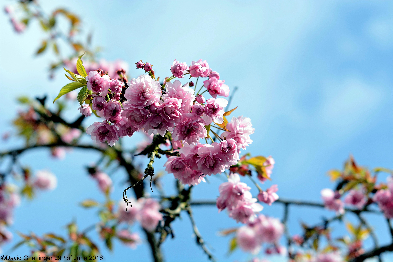 Cherry Blossom Tree by DavidGrieninger