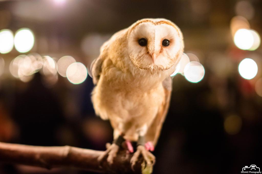 Barn Owl (Night Shot) by SIG442