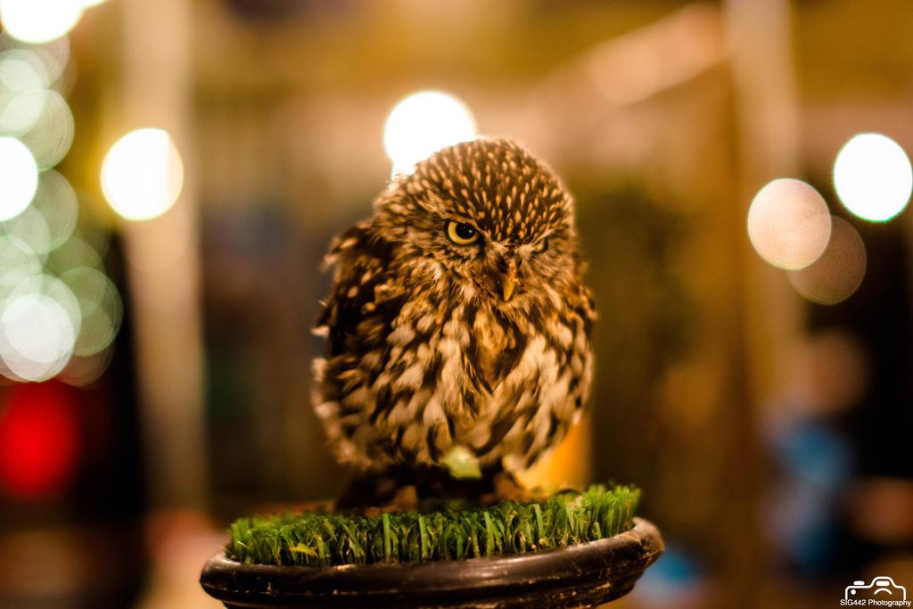 Eurasian Pygmy Owl (Night Shot) by SIG442