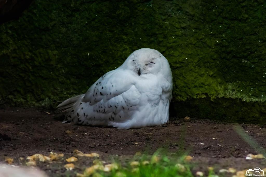 Snowy Owl - Amersfoort Zoo by SIG442