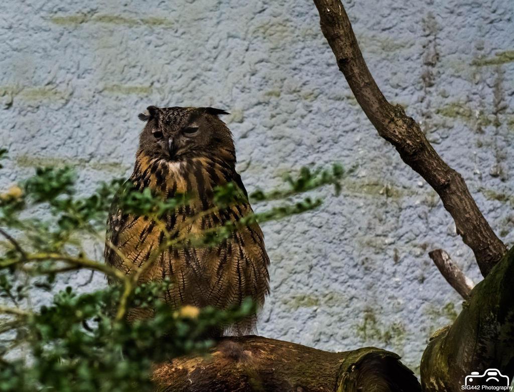Eurasian Eagle-Owl - Amersfoort Zoo by SIG442