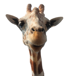 Awesome Giraffe - Free Stock Photo [PNG]