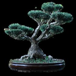 Bonsai Tree [PNG] Free Photo
