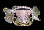 Cute Puffer Fish [PNG] Free Stock Image