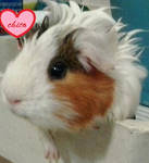 Chito my guinea pig