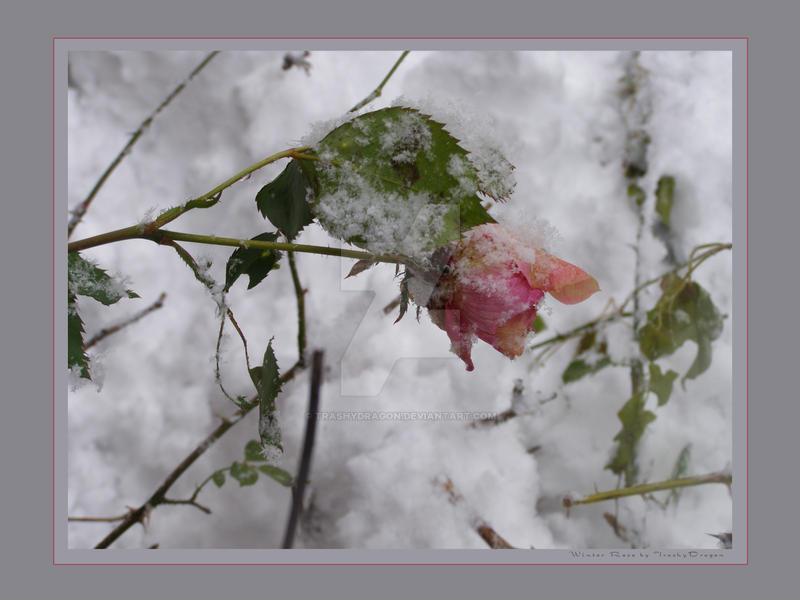 Winter Rose Print by trashydragon
