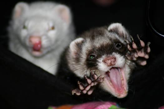 Monster ferret