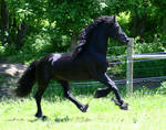 Friesian STOCK