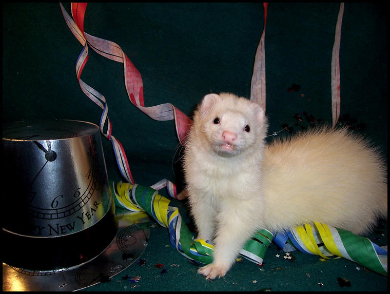 Happy New Year, ferret style. by LarissaAllen