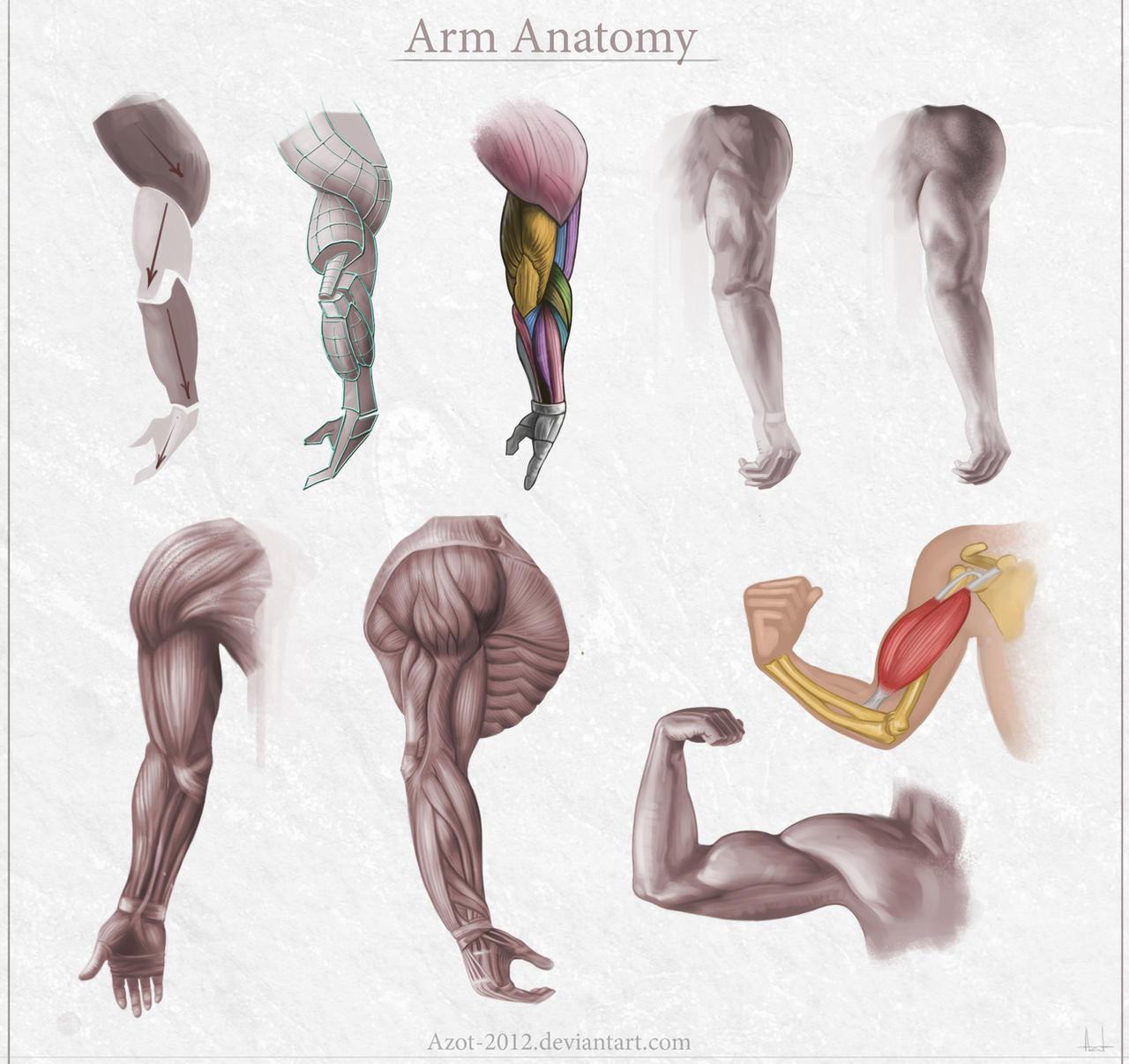anatomy of arm - Vatoz.atozdevelopment.co