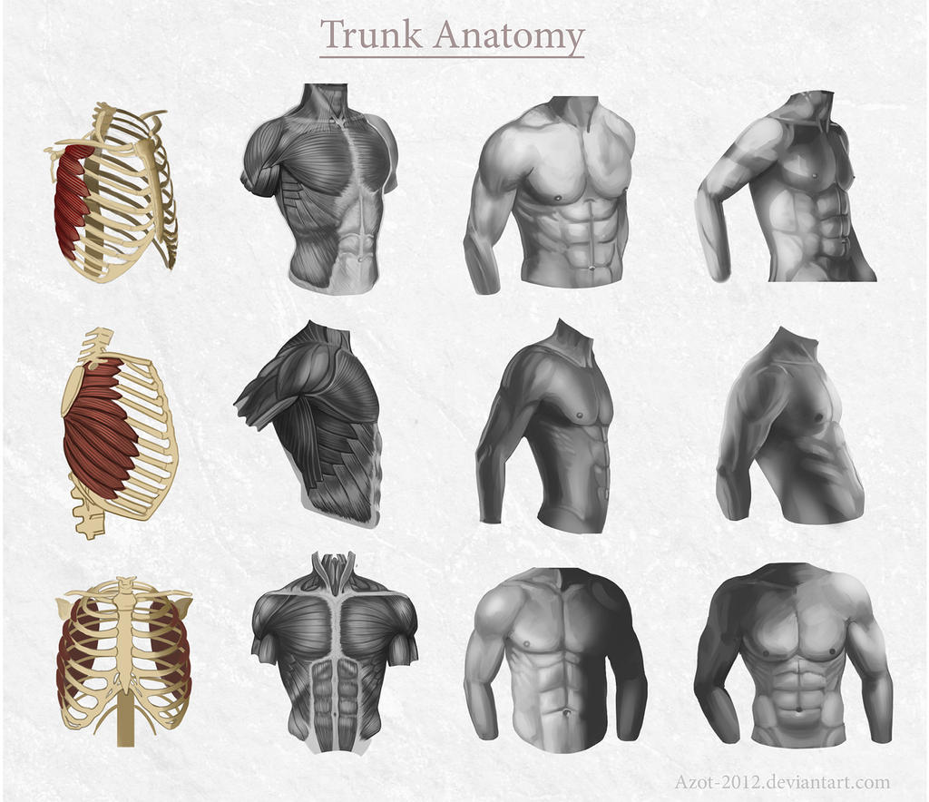 Trunk Anatomy by Azot2014