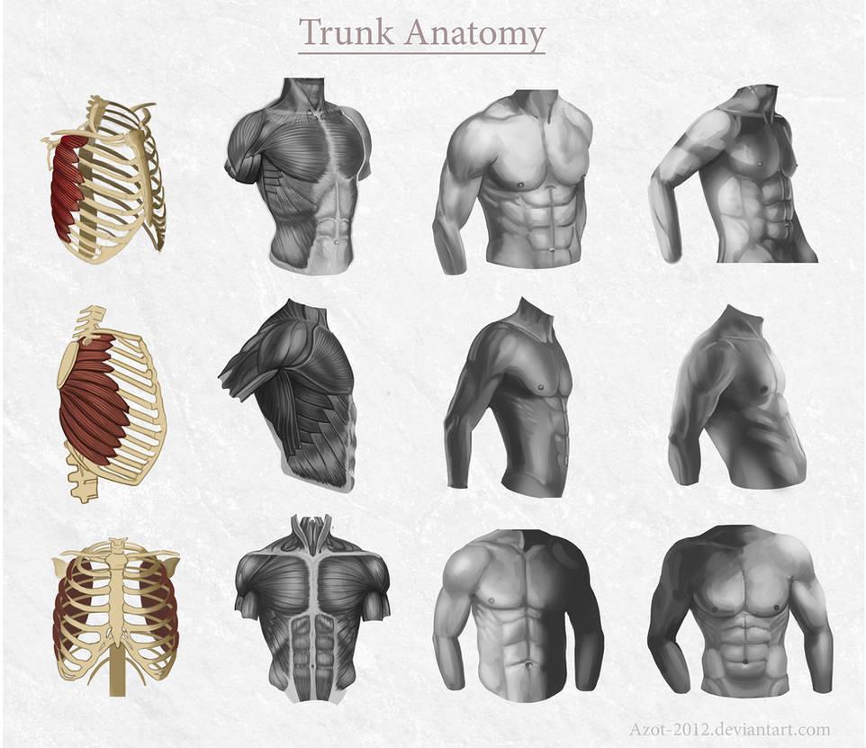 Trunk Anatomy by Azot2021