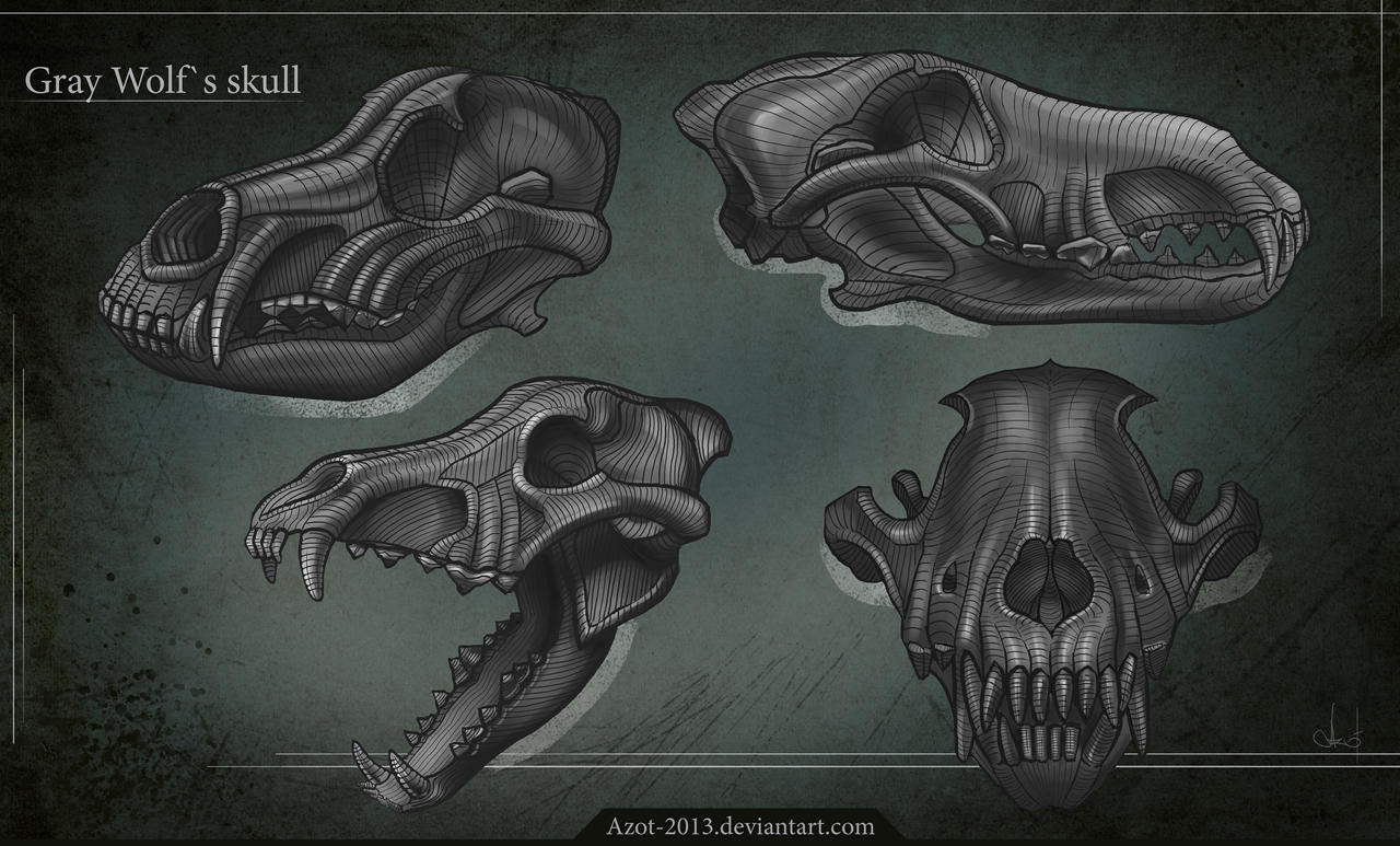 Gray Wolf`s Skull by Azot2018 on DeviantArt