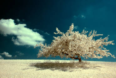 infrared tree no.4 by Tschisi