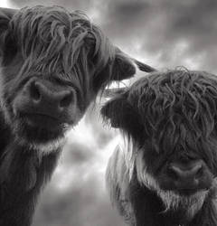 Highland cattle 2 by mahomo